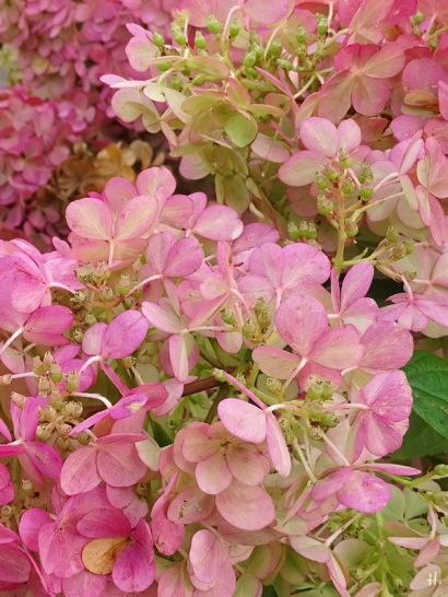 2020-09-02 LüchowSss Garten Rispenhortensie (Hydrangea paniculata) 'Vanille-Fraise' (4)