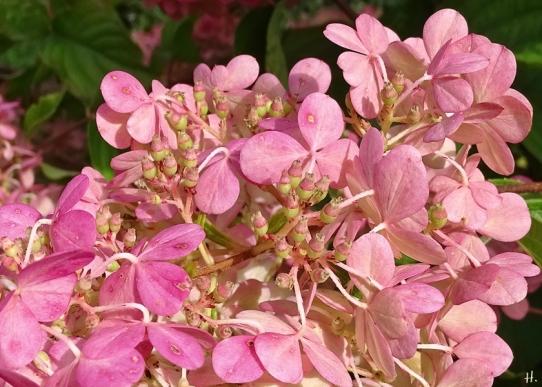 2020-09-02 LüchowSss Garten Rispenhortensie (Hydrangea paniculata) 'Vanille-Fraise' (5)