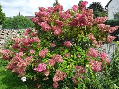 2020-09-02 LüchowSss Garten Rispenhortensie (Hydrangea paniculata) 'Vanille-Fraise' Strauch (1)