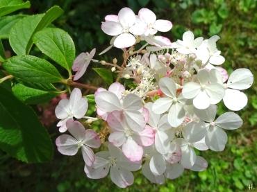 2020-09-02 LüchowSss Garten Rispenhortensie 'Vanille-Fraise' Scheinblüten + echte Blüten (1)