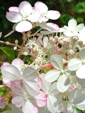 2020-09-02 LüchowSss Garten Rispenhortensie 'Vanille-Fraise' Scheinblüten + echte Blüten (2)