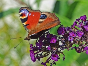 2020-09-02 LüchowSss Garten Tagpfauenauge (Aglais io) + pupurfarbener Schmetterlingsflieder (Buddleja davidii) (1)