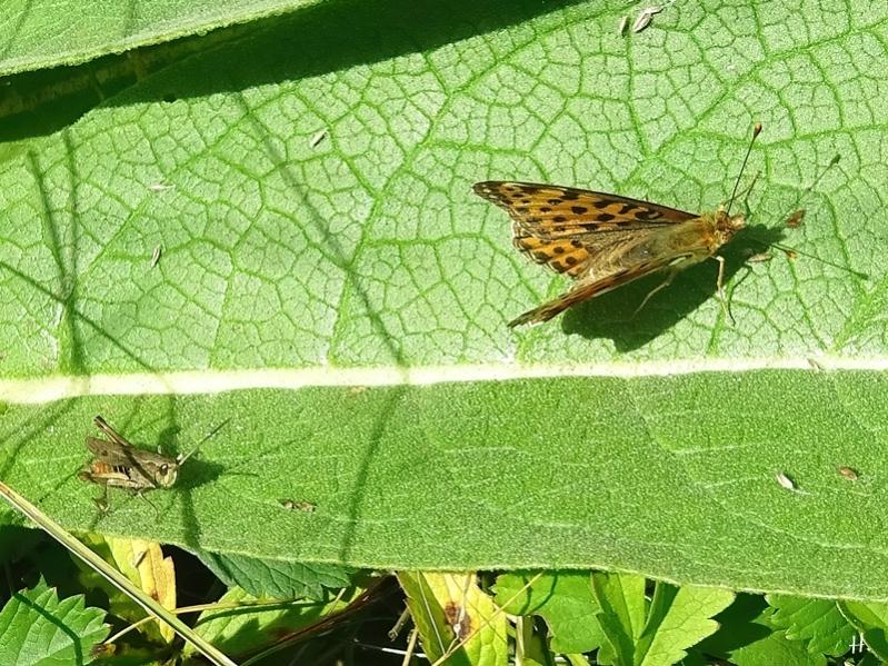 2020-09-04 LüchowSss Garten Gemeine Grashüpfer (Chorthippus parallelus) + Kl. Perlmuttfalter (Issora lathonia) + Kandelaber-Königskerzenblatt (Verbascum olypicum)