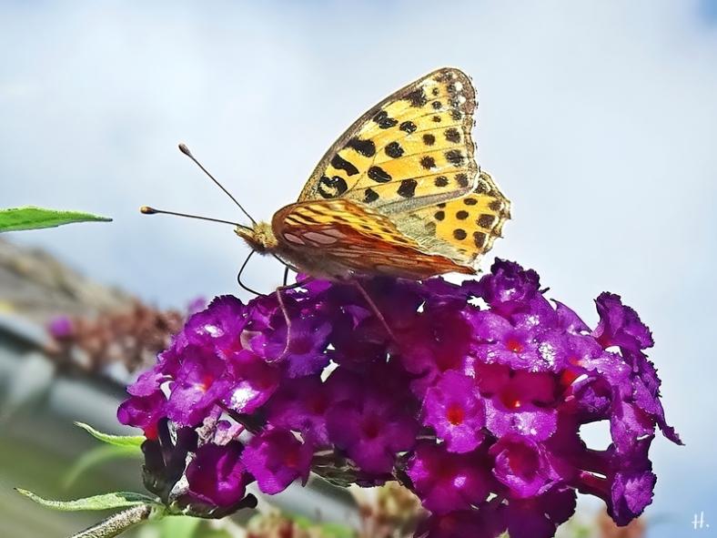2020-09-04 LüchowSss Garten Kleiner Perlmuttfalter (Issoria lathonia) an Schmetterlingsflieder (Buddleja davidii)