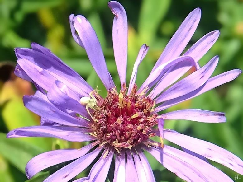 2020-09-04 LüchowSss Garten Veränderliche Krabbenspinne (Misumena vatia) auf Neubelgischer Glattblattaster (Symphyotrichum novi-belgii) (1)