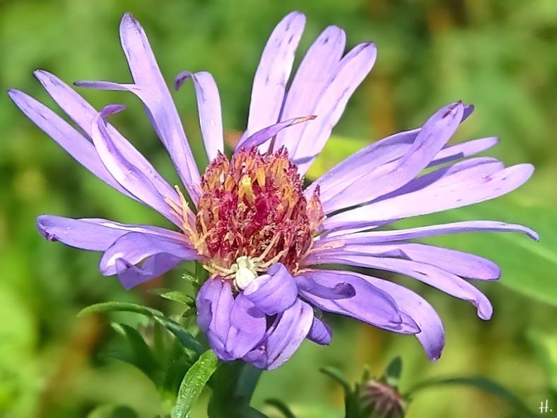 2020-09-04 LüchowSss Garten Veränderliche Krabbenspinne (Misumena vatia) auf Neubelgischer Glattblattaster (Symphyotrichum novi-belgii) (2)