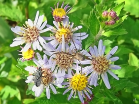 2020-09-04 LüchowSss Garten Weberknecht (Phalangium opilio) + Fliege + Asiatische Wildaster 'Asran'