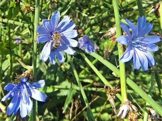 2020-09-04 LüchowSss Garten Wegwarte (Cichorium intybus) +Honigbiene (Apis mellifera) (1)