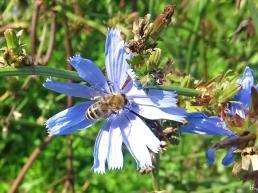 2020-09-04 LüchowSss Garten Wegwarte (Cichorium intybus) +Honigbiene (Apis mellifera) (2)