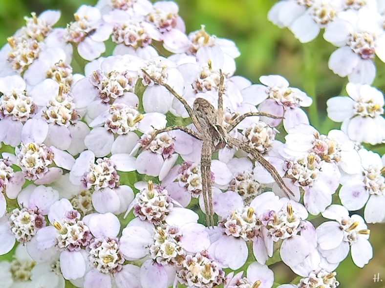 2020-09-04 LüchowSss Garten Wiesen-Schafgarbe (Achillea millefolium) + Listspinne (Pisaura mirabilis)