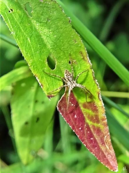 2020-09-06 LüchowSss Garten Listspinne (Pisaura mirabilis) auf Nachtkerzenblatt (Oenothera biennis)