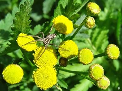 2020-09-06 LüchowSss Garten Listspinne (Pisaura mirabilis) auf Rainfarn (Tanacetum vulgare) (2)