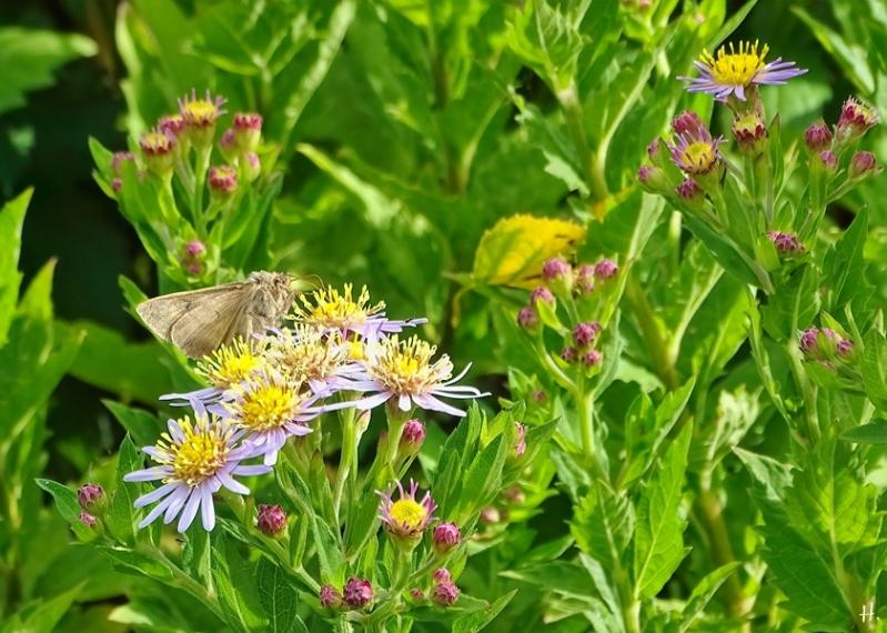 2020-09-07 LüchowSss Garten Gamma-Eule (Autographa gamma) + Asiatische Wildaster 'Asran' (Aster ageratoides) (1)