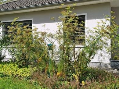 2020-09-07 LüchowSss Garten (Handy) grosser Fenchel (Foeniculum vulgare)