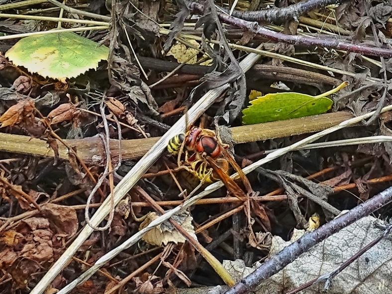 2020-09-09 LüchowSss Garten Hornisse (Vespa crabro) + Kurzkopfwespe (Vespula spec.) (1)