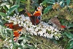 2020-09-09 LüchowSss Garten Tagpfauenaugen (Aglais io) an weissem Schmetterlingsflieder (Buddleja spec.)