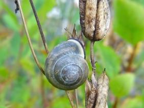 2020-09-11 LüchowSss Garten Hain-Bänderschnecke (Cepaea nemoralis) an Akelei (Aquilegia)