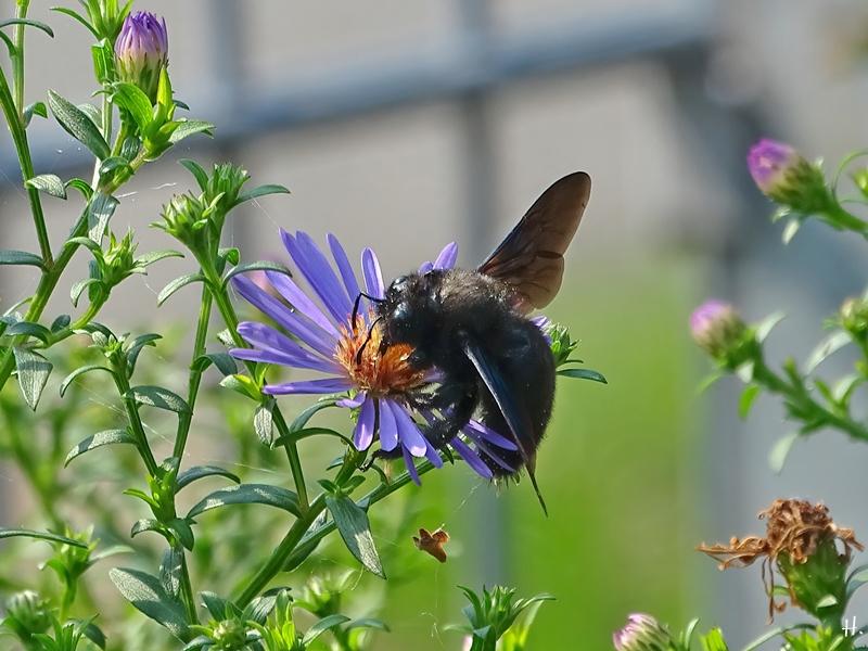 2020-09-11 LüchowSss Garten männl. Grosse Blaue Holzbiene ( Xylocopa violacea) + Herbstastern bzw. Neubelgischen Glattblattaster (Symphyotrichum novi-belgii)