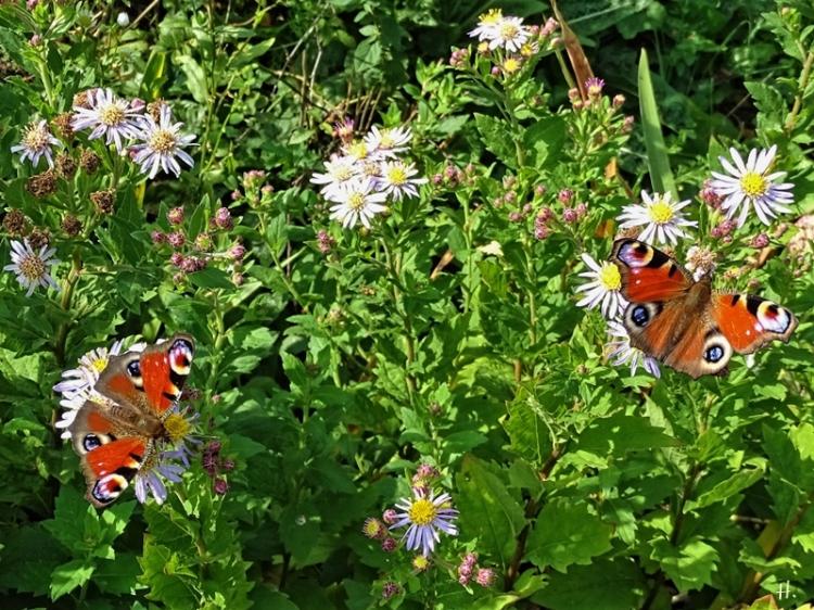 2020-09-13 LüchowSss Garten 2 Tagpfauenaugen (Inachis io bzw. Aglais io) + Asiatische Wildastern (Aster ageratoides) 'Asran'