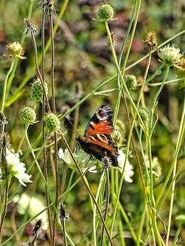 2020-09-14 LüchowSss Garten Tagpfauenauge (Inachis io) + Gelb-Skabiosen (Scabiosa ochroleuca) (2)