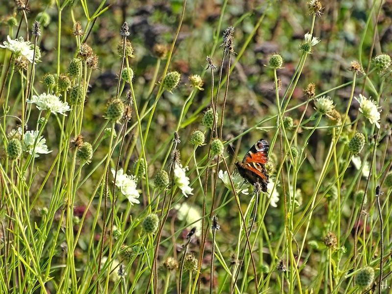 2020-09-14 LüchowSss Garten Tagpfauenauge (Inachis io) + Gelb-Skabiosen (Scabiosa ochroleuca)