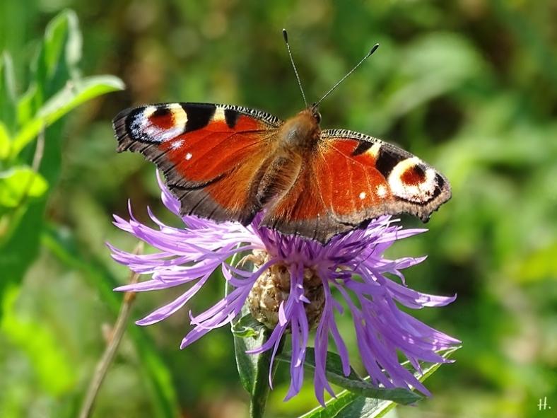 2020-09-14 LüchowSss Garten Tagpfauenauge (Inachis io) + Wiesen-Flockenblume (Centaurea jacea) (1)