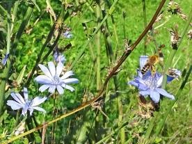 2020-09-14 LüchowSss Garten Wegwarte (Cichorium intybus) + Seidenbiene (Colletes spec.) (1)
