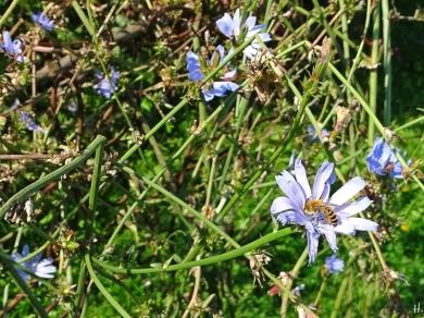 2020-09-14 LüchowSss Garten Wegwarte (Cichorium intybus) + Seidenbiene (Colletes spec.) (3)