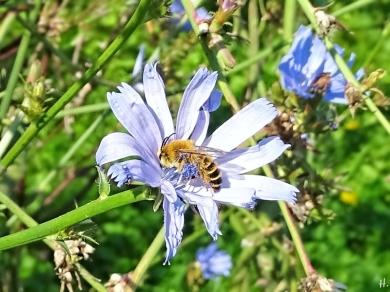 2020-09-14 LüchowSss Garten Wegwarte (Cichorium intybus) + Seidenbiene (Colletes spec., vllt. C. similis) (4)