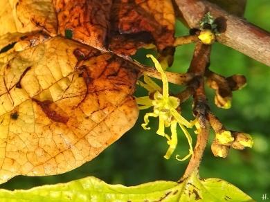 2020-09-15 LüchowSss Garten Zaubernuss (Hamamelis spec.) Früchte + Knospen + gelbe Blüten, vermutl. Virginischen Zaubernuss (Hamamelis virginiana)