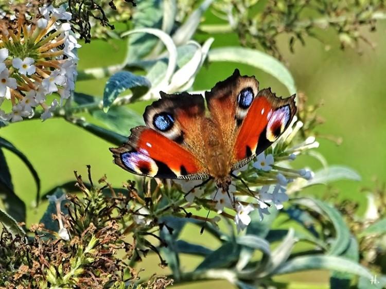 2020-09-17 LüchowSss Garten Tagpfauenauge (Inachis io) + weisser Schmetterlingsflieder (Buddleja spec.)