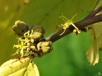 2020-09-17 LüchowSss Garten Zaubernuss (Hamamelis spec.) Früchte + Knospen + Blüten, vermutl. Virginischen Zaubernuss (Hamamelis virginiana)