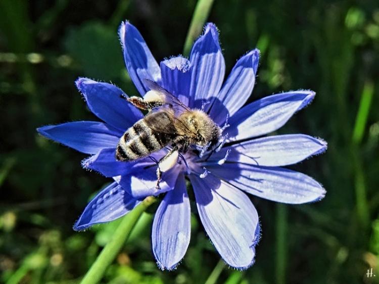 2020-09-18 LüchowSss Garten Wegwarte (Cichorium intybus) + Honigbiene (Apis mellifera)