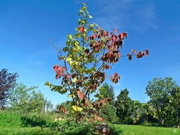 2020-09-18 LüchowSss Garten Zaubernuss (Hamamelis x intermedia) + vermutl. Virginische Zaubernuss (Hamamelis virginiana) gemeinsam