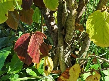 2020-09-18 LüchowSss Garten Zaubernuss (Hamamelis x intermedia) + wahrscheinlich Virginischen Zaubernuss (Hamamelis virginiana) in Bodennähe