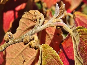 2020-09-18 LüchowSss Garten Zaubernuss (Hamamelis x intermedia) rotbraune Blätter + Knospen
