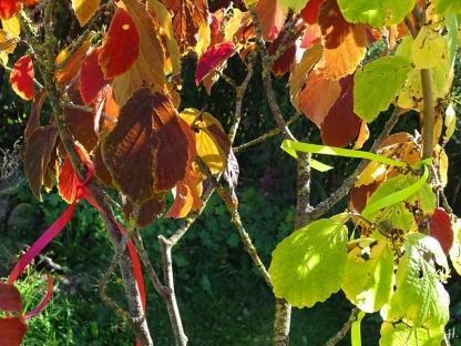 2020-09-18 LüchowSss Garten Zaubernuss (Hamamelis x intermedia) rotes + vermutl. Virginischen Zaubernuss (Hamamelis virginiana) hellgrünes Bändchen