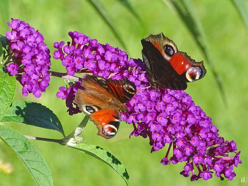 2020-09-20 LücchowSss Garten 2 Tagpfauenaugen (Inachis io) + Schmetterlingsflieder (Buddleija davidii)