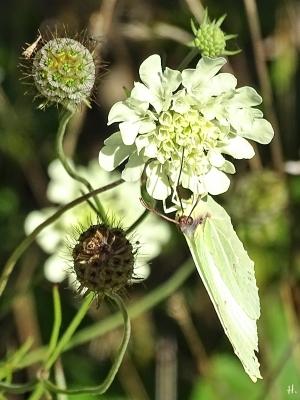 2020-09-20 LücchowSss Garten Gelb-Skabiose (Scabiosa ochroleuca) + Zitronenfalter (Gonepteryx rhamni) (1)