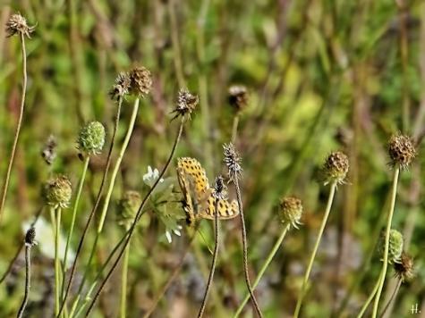 2020-09-20 LücchowSss Garten Gelb-Skabiosen (Scabiosa ochroleuca) + 1. u. einziger Distelfalter des Jahres (Vanessa cardui) (1A)