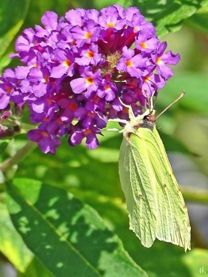 2020-09-20 LüchowSss Garten Zirtonenfalter (Gonepteryx rhamni) + purpurner Schmetterlingsflieder (Buddleja davidii) (1)