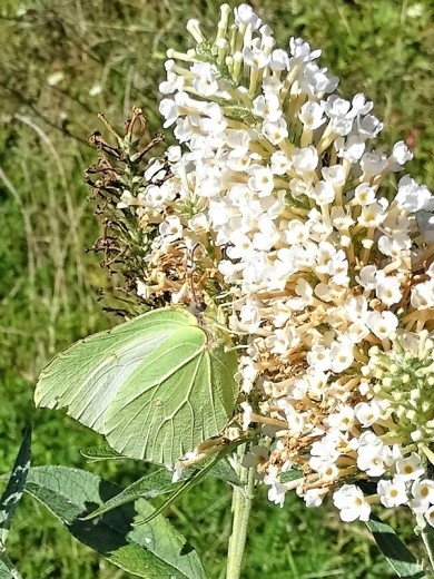 2020-09-20 LüchowSss Garten Zirtonenfalter (Gonepteryx rhamni) + weisser Schmetterlingsflieder (Buddleja spec.) (3)