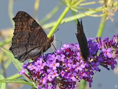 Garten 2 Tagpfauenaugen (Inachis io) + Schmetterlingsflieder (Buddleja davidii)