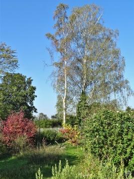 2020-09-22 LüchowSss Garten Birken + Hibiskus + Hartriegel + Zaubernuss