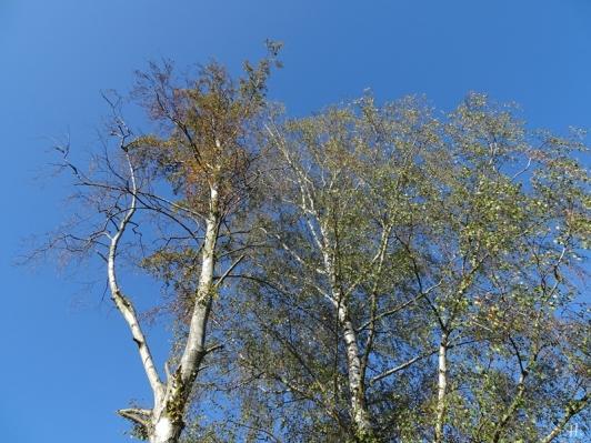 2020-09-22 LüchowSss Garten Birken Wipfel