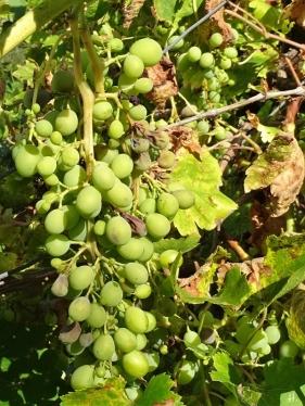 Spanische Weinrebe (Vitis vinifera ssp. vinifera)