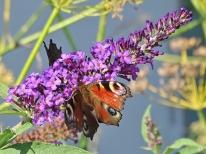 2020-09-22 LüchowSss Garten Tagpfauenaugen (Inachis io) + Schmetterlingsflieder (Buddleja davidii) + Fenchel (Foeniculum vulgare) (2)
