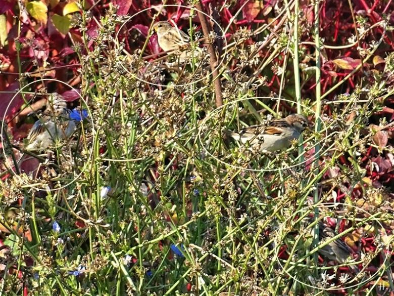 2020-09-22 LüchowSss Garten Wegwarte (Cichorium intybus) + 4 Haussperlinge (Passer domesticus), eingekreist