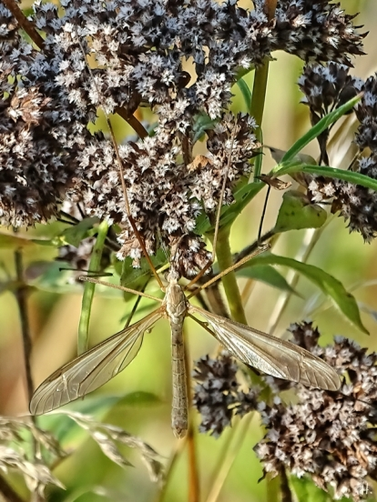 männl. Wiesenschnake (Tipula paludosa) an verblühtem Wildem Dost (Oreganum vulgare)