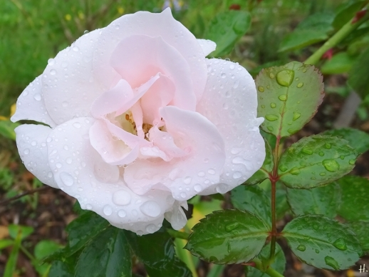 2020-09-25 LüchowSss Garten Beetrose 'Aspirin' (Tantau)
